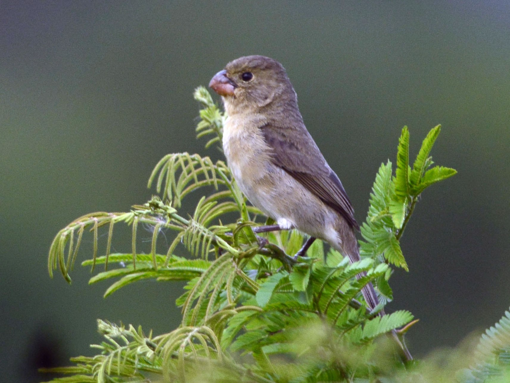 Copper Seedeater - Luiz Moschini