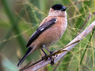 - Copper Seedeater