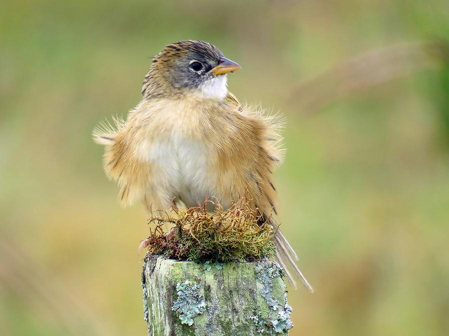 Lesser Grass-Finch - Fábio Luís Mello