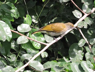 - Honeyguide Greenbul