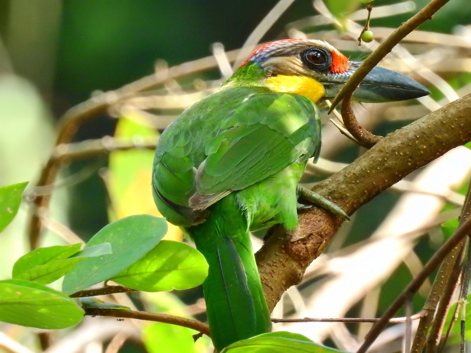 Gold-whiskered Barbet - Andy Lee