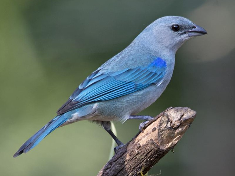 Azure-shouldered Tanager - Marco Silva