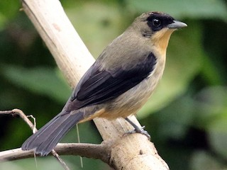 - Black-goggled Tanager