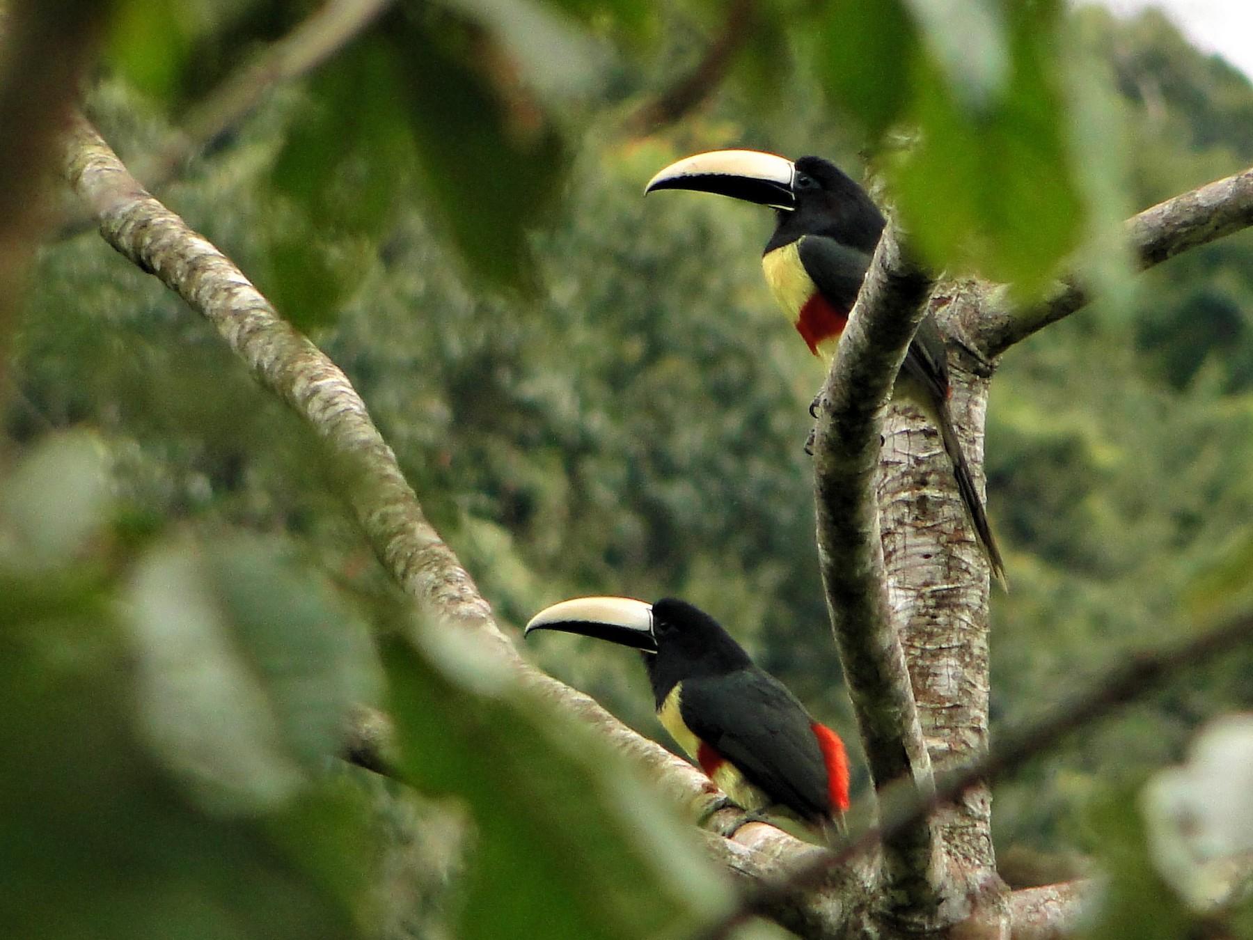 Black-necked Aracari - Carlos Gussoni