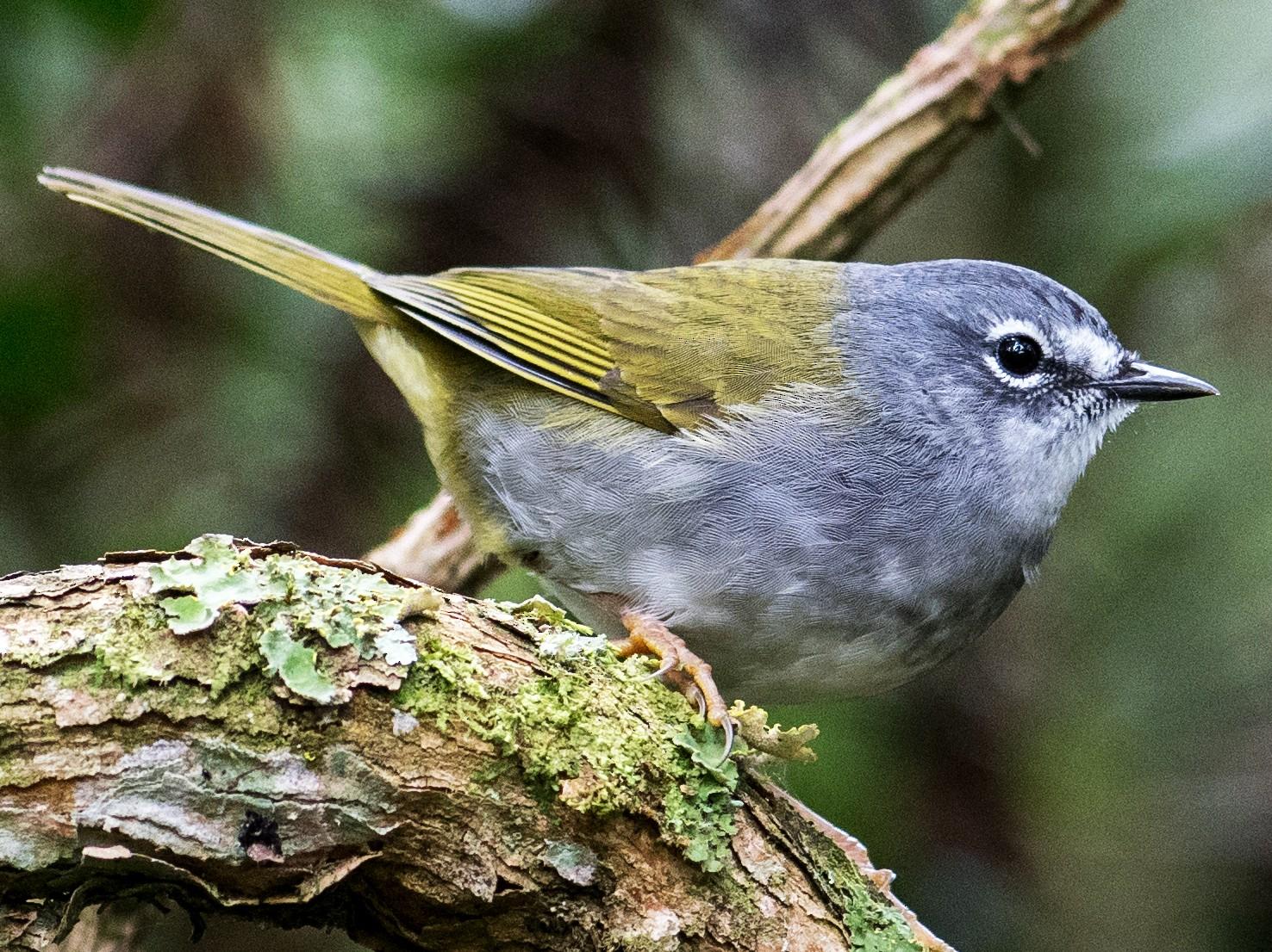 White-browed Warbler - Hudson - BirdsRio