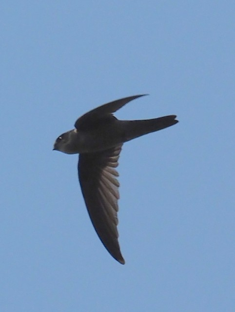 Indian Swiftlet