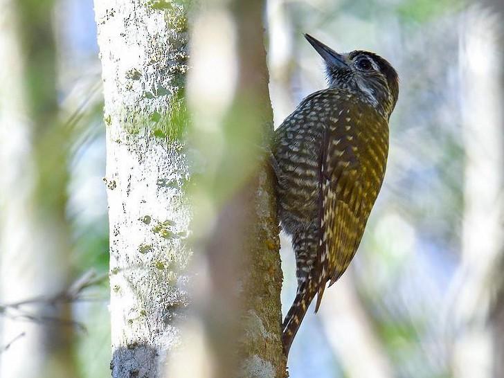 White-spotted Woodpecker - Sergio Moya