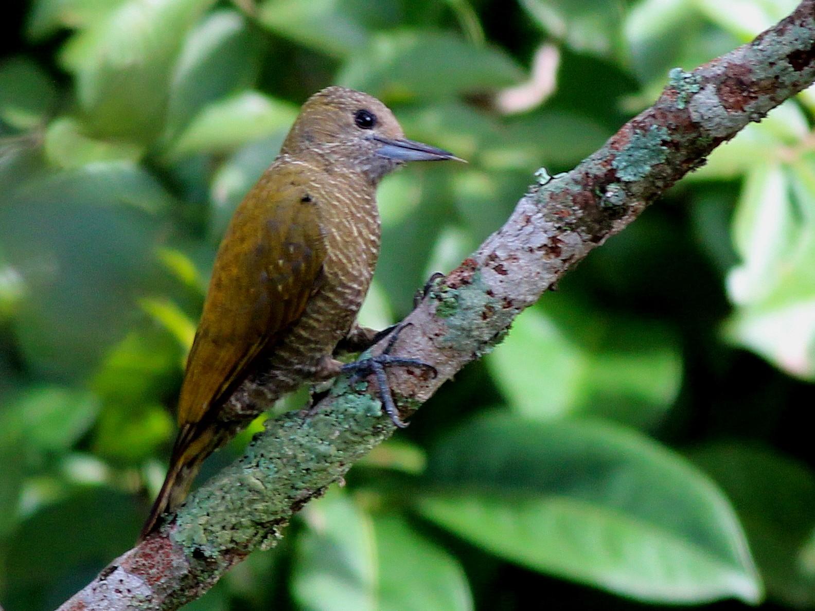 Little Woodpecker - Nárgila Moura