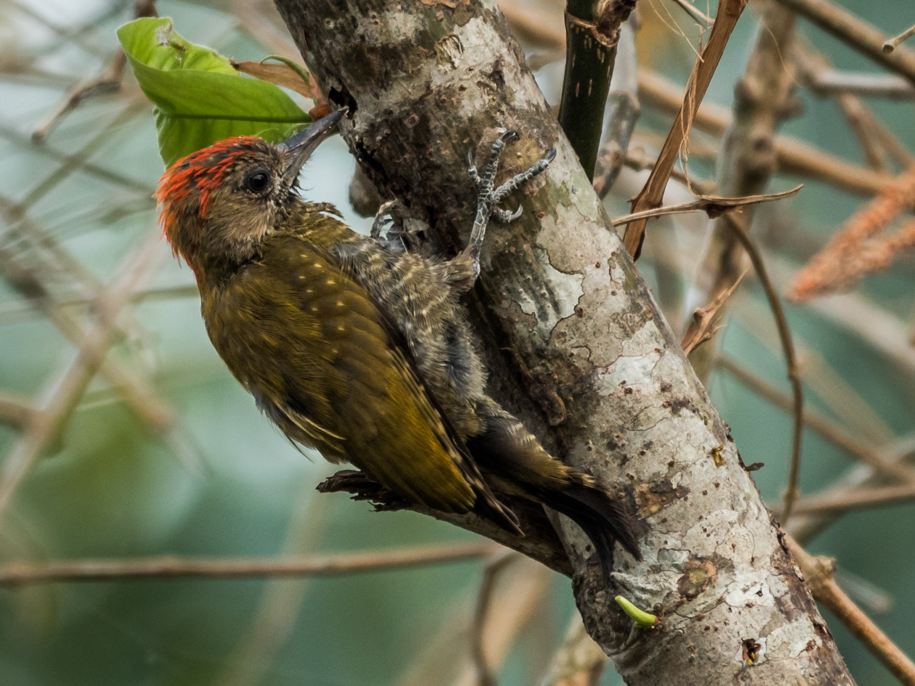 Little Woodpecker - Michael Plaster