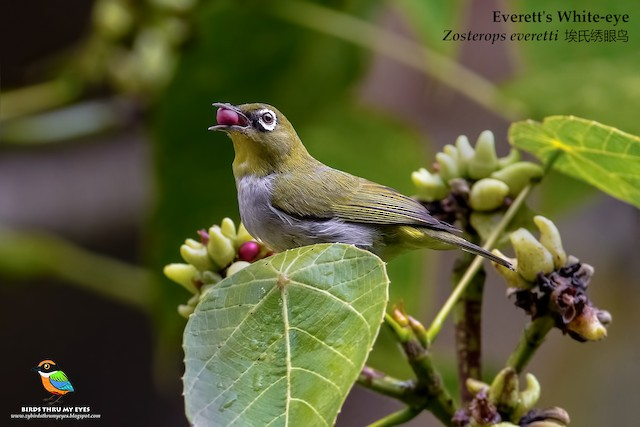 Hume's White-eye