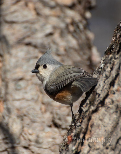 ©Brian Murphy - Tufted Titmouse