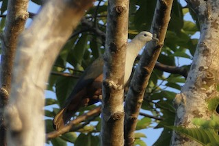 - Micronesian Imperial-Pigeon