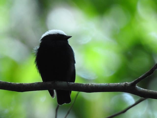 "White-crowned Manakin male (presumed subspecies <em class=""SciName notranslate"">unica</em>)"