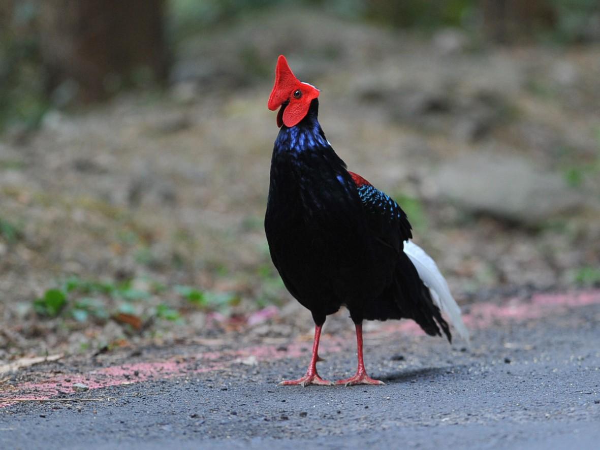 Swinhoe's Pheasant - jimmy Yao