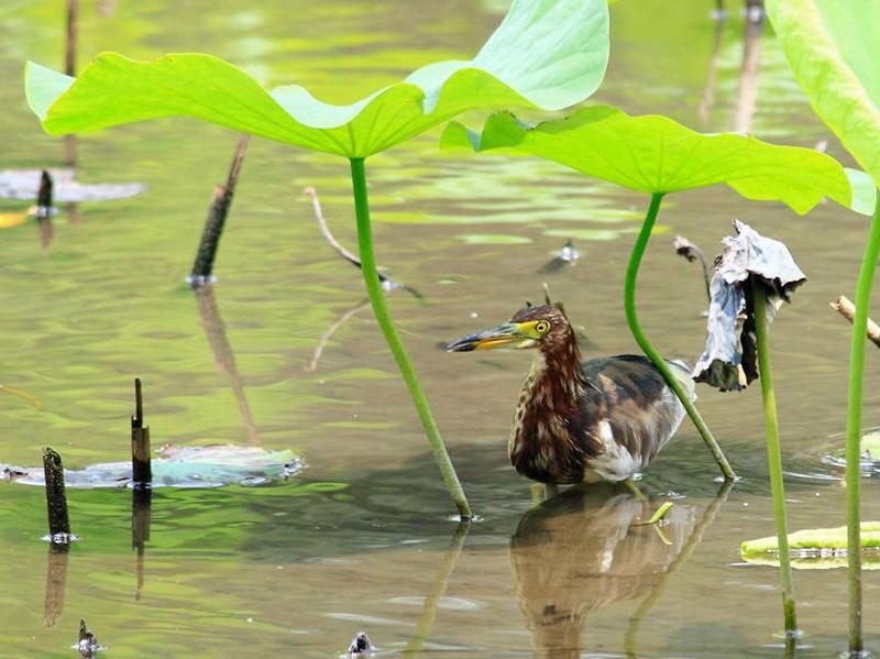Chinese Pond-Heron - 葉 珈良
