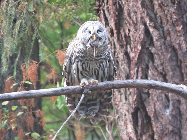 Barred Owl (Northern)