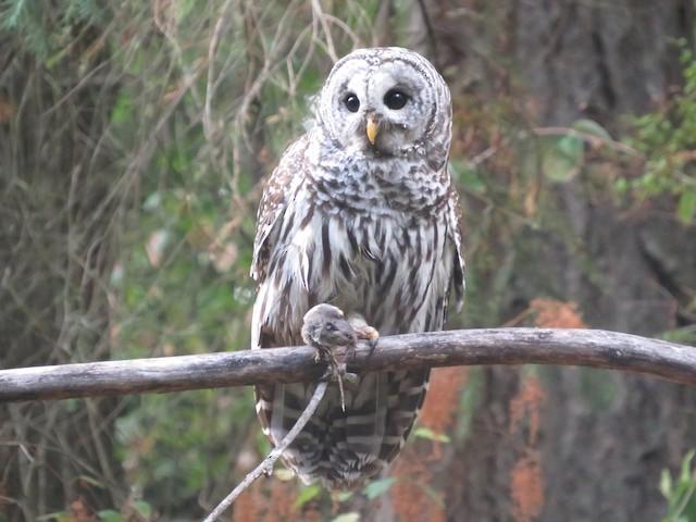 Barred Owl (Northern)