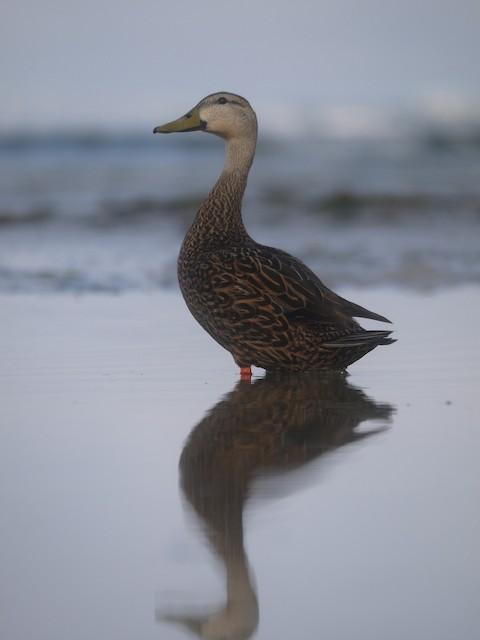 Mottled Duck (Florida)