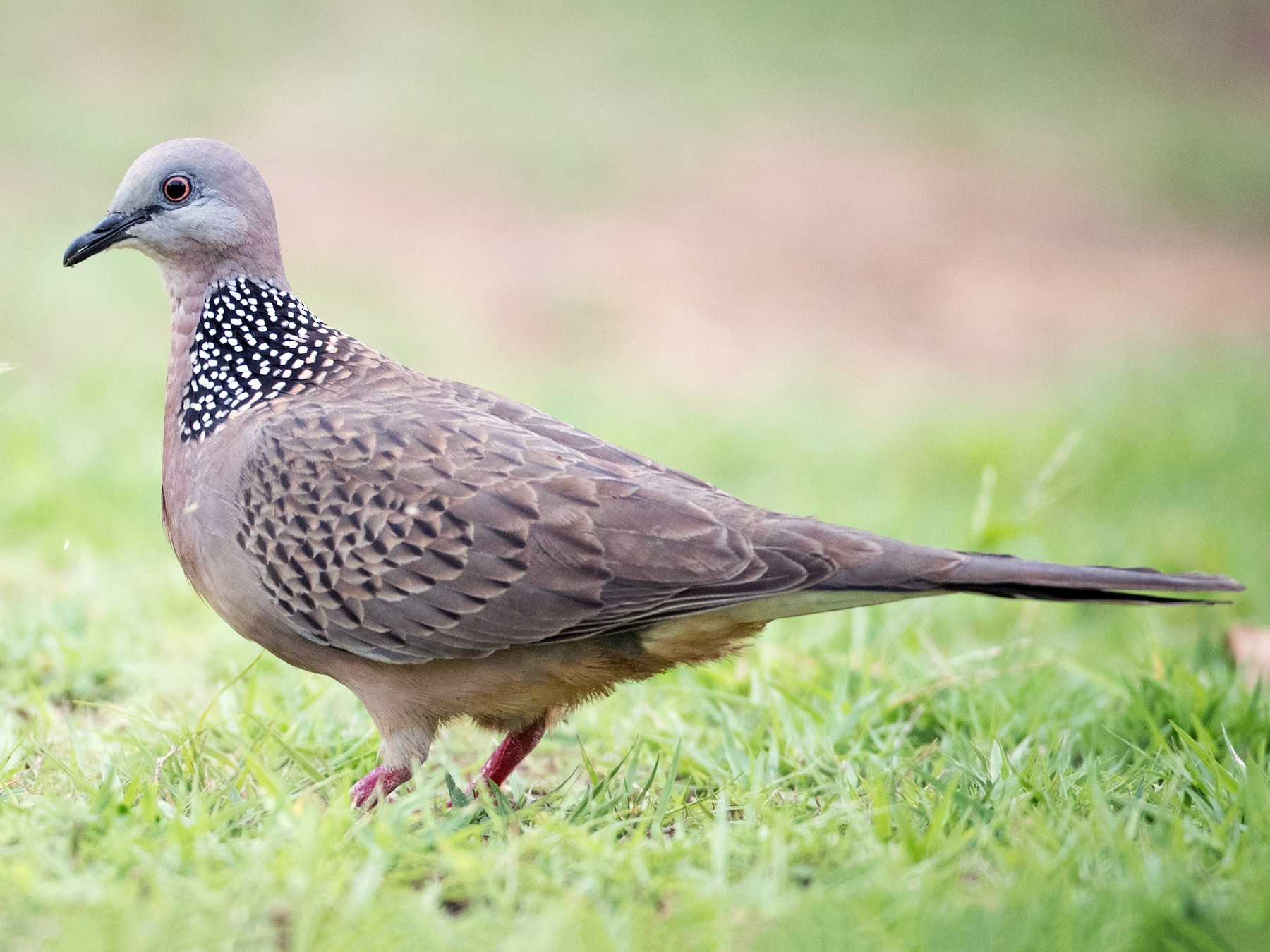 Spotted Dove - Ian Davies