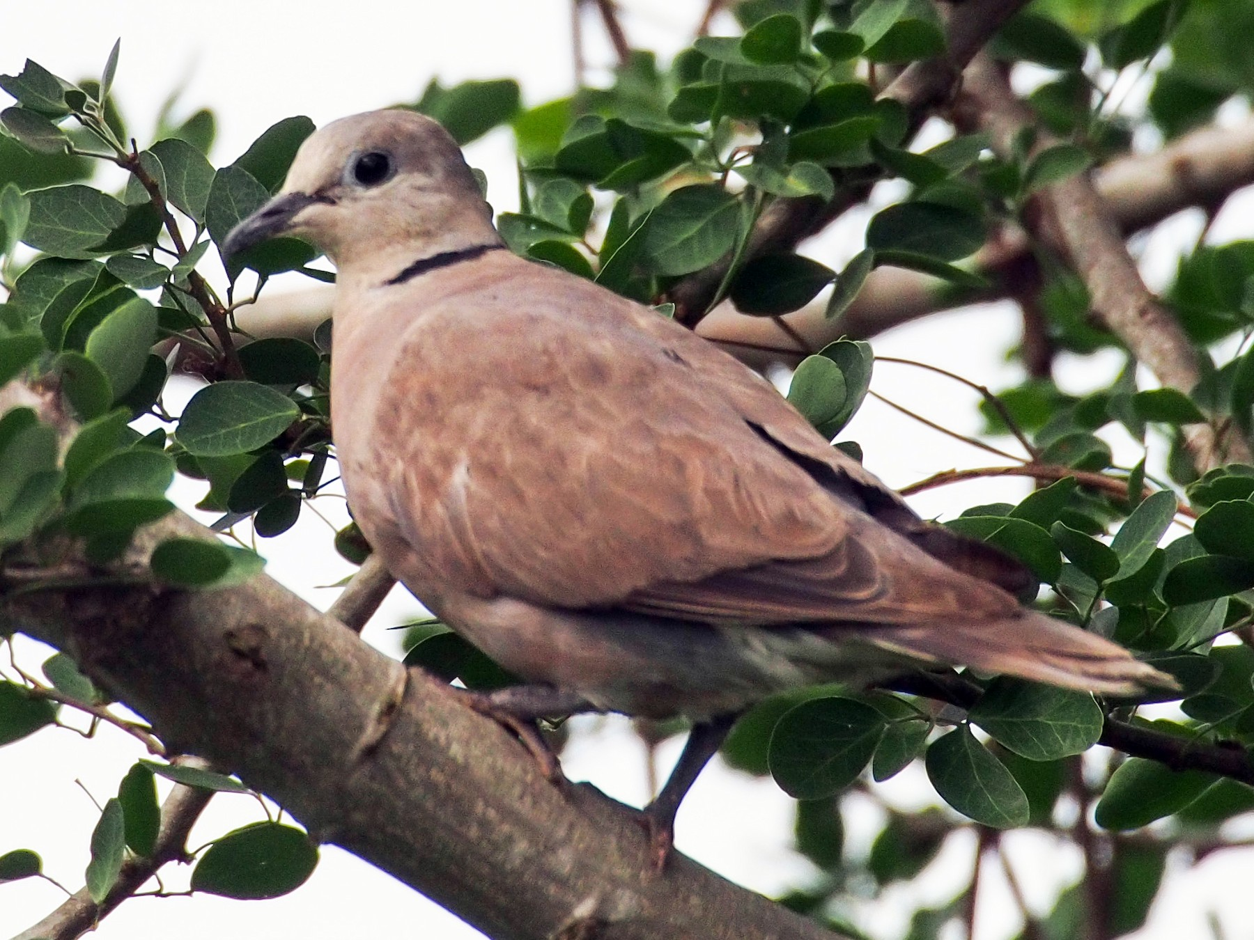 Red Collared-Dove - Joost Foppes