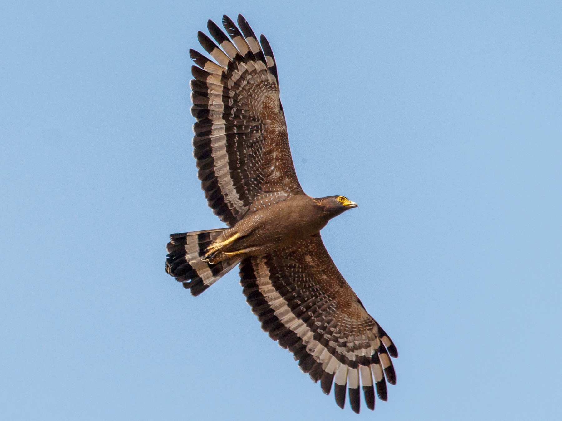 Crested Serpent-Eagle - Anonymous eBirder