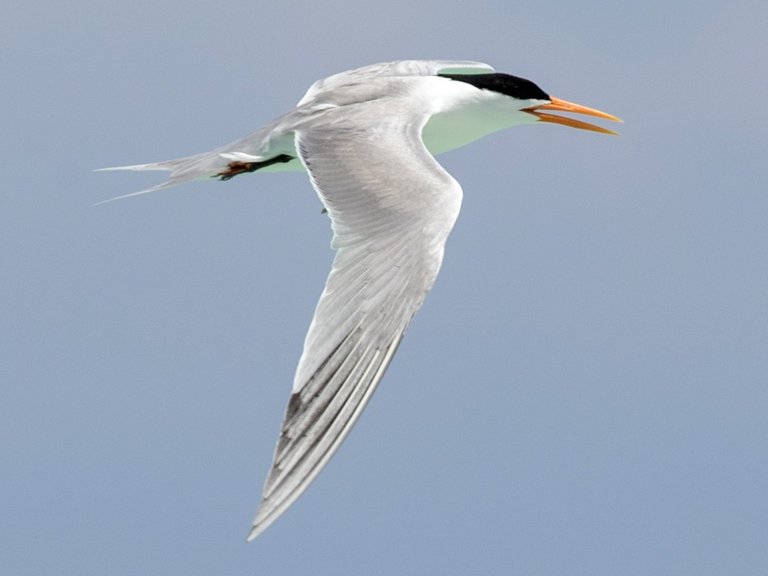 Lesser Crested Tern - Ian Davies