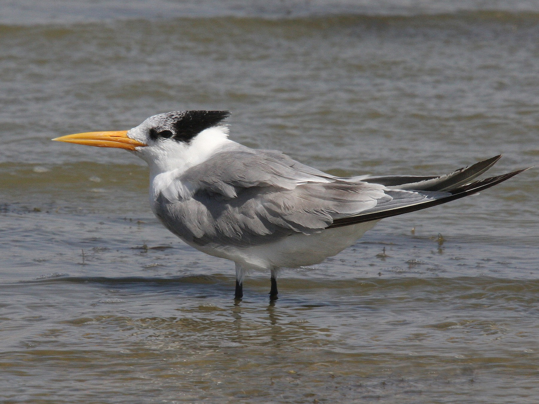 Lesser Crested Tern - Christoph Moning
