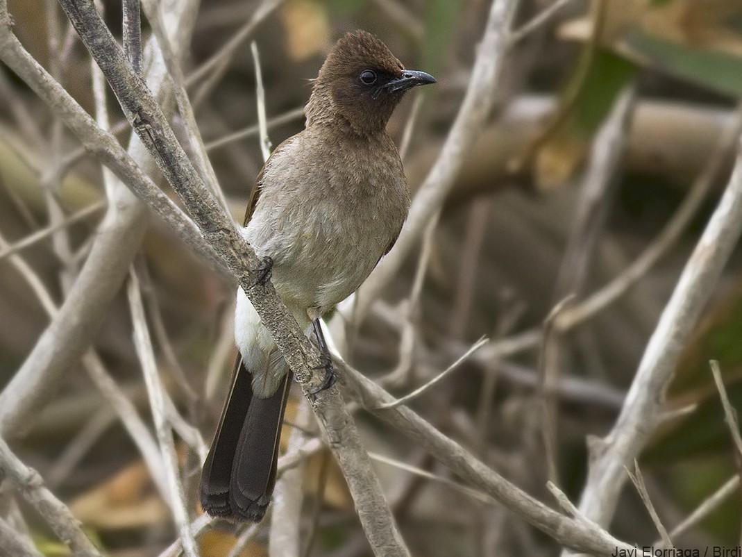 Common Bulbul - Javi Elorriaga