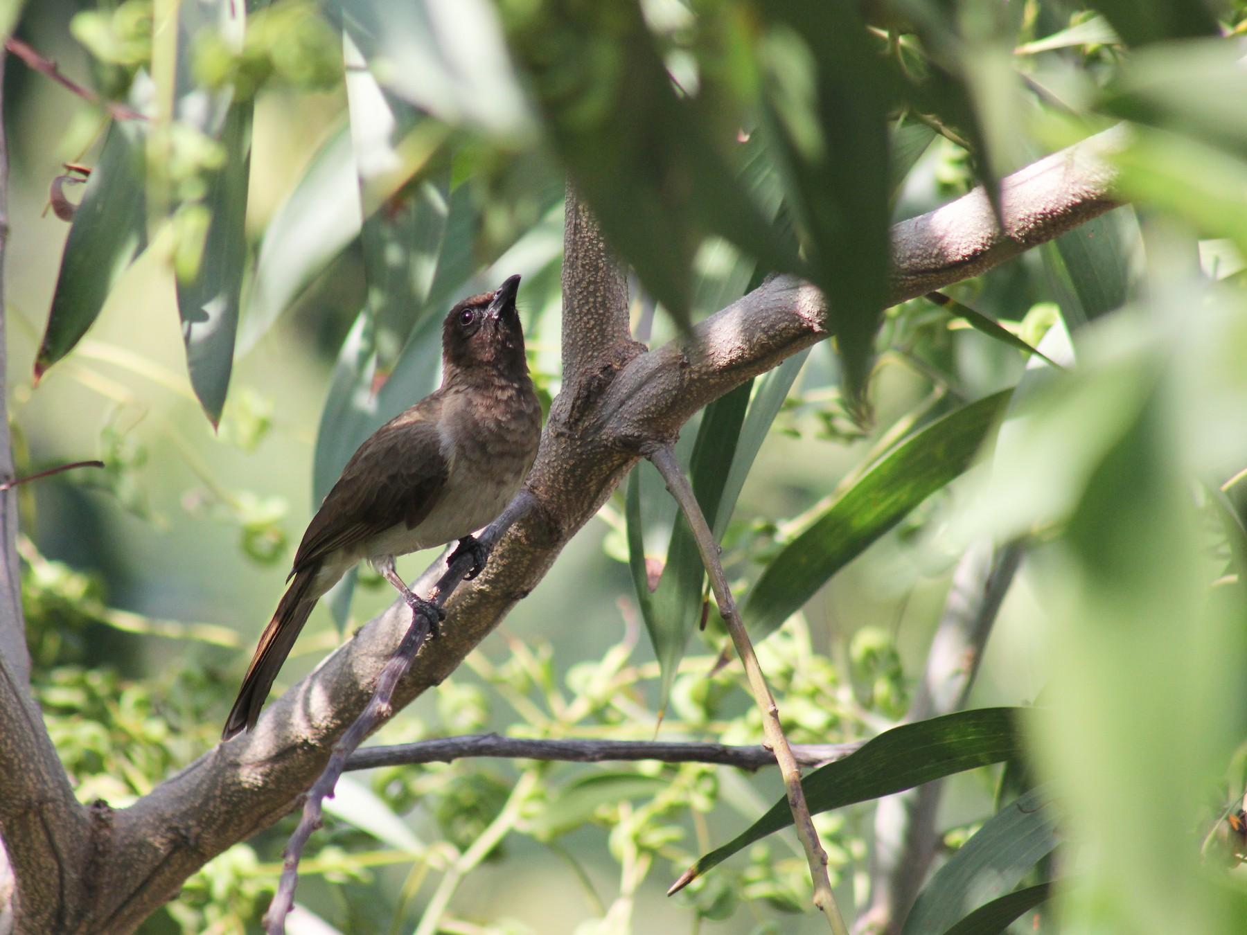 Common Bulbul - Kalyani Mirajkar