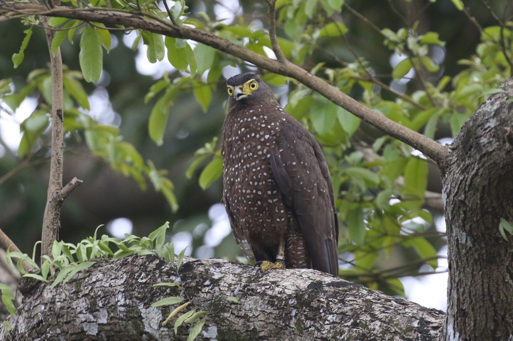 Philippine Serpent-Eagle - Knut Hansen