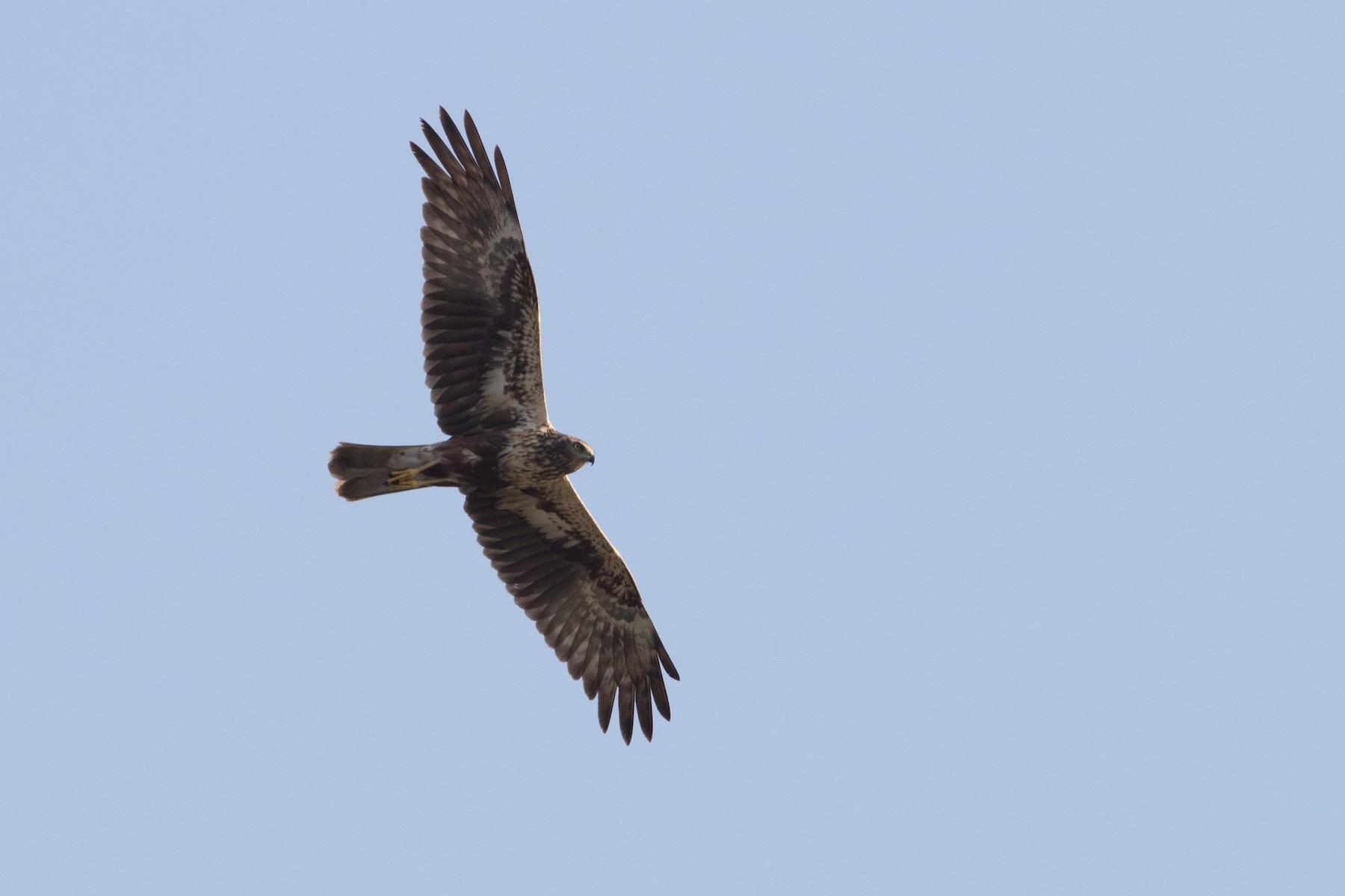 Eastern/Papuan Marsh-Harrier - Lucas Bobay