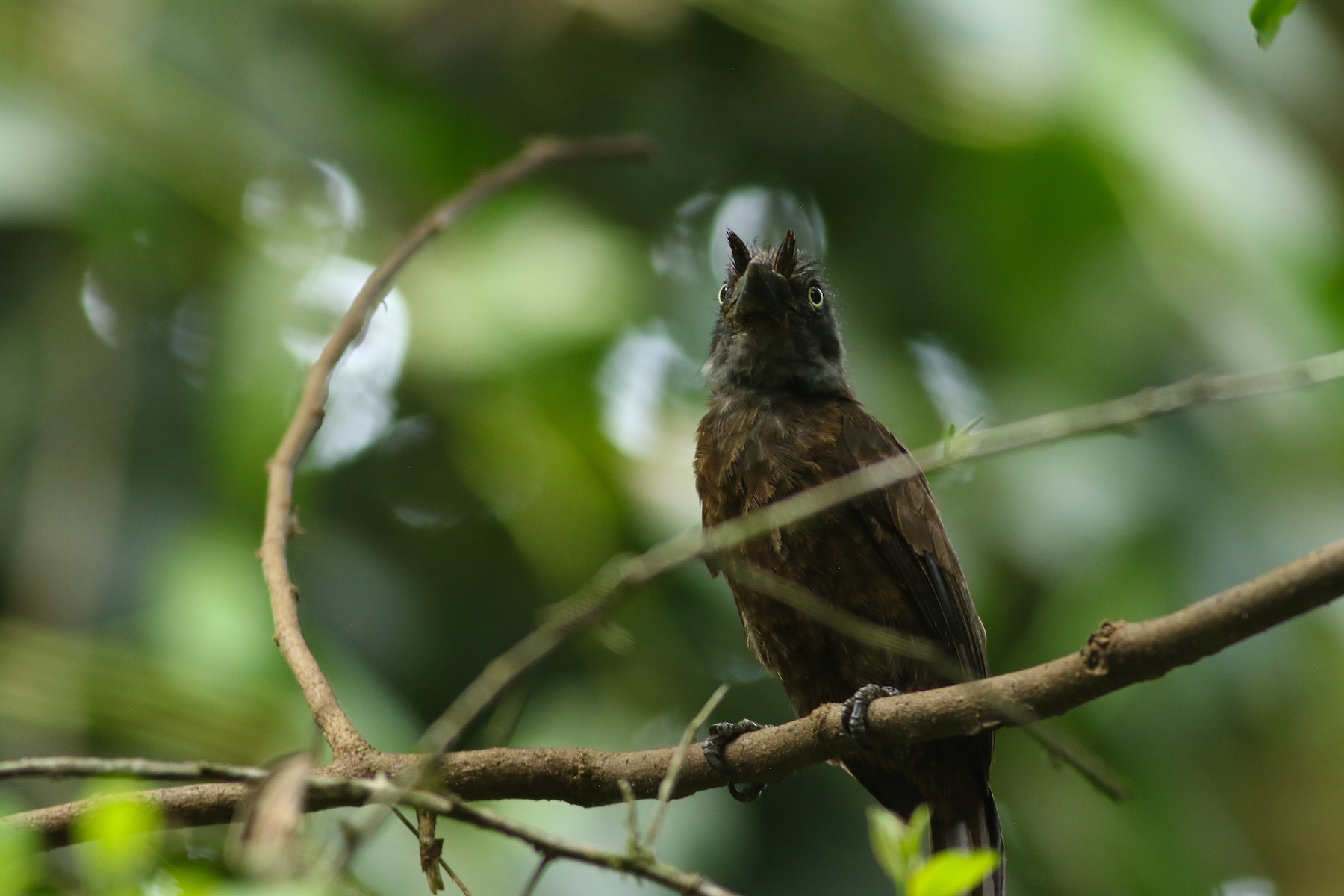 Gray-throated Barbet - Tong Mu