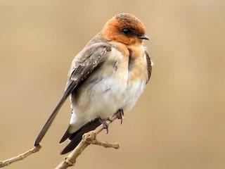 - Tawny-headed Swallow