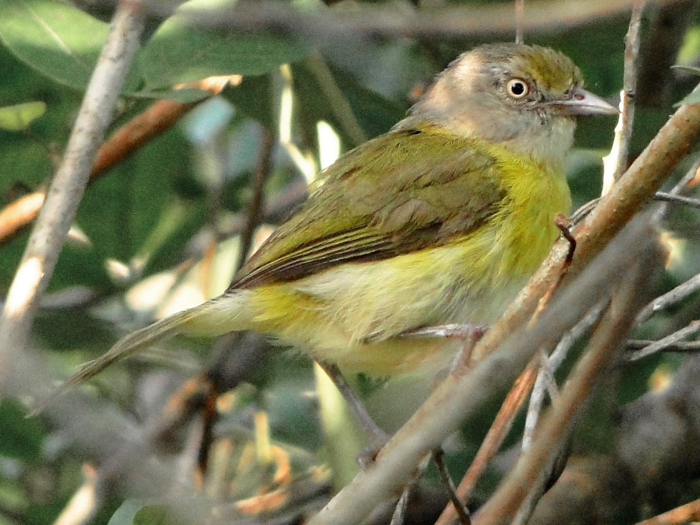 Lemon-chested Greenlet - Carlos Gussoni