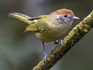 - Rufous-crowned Greenlet