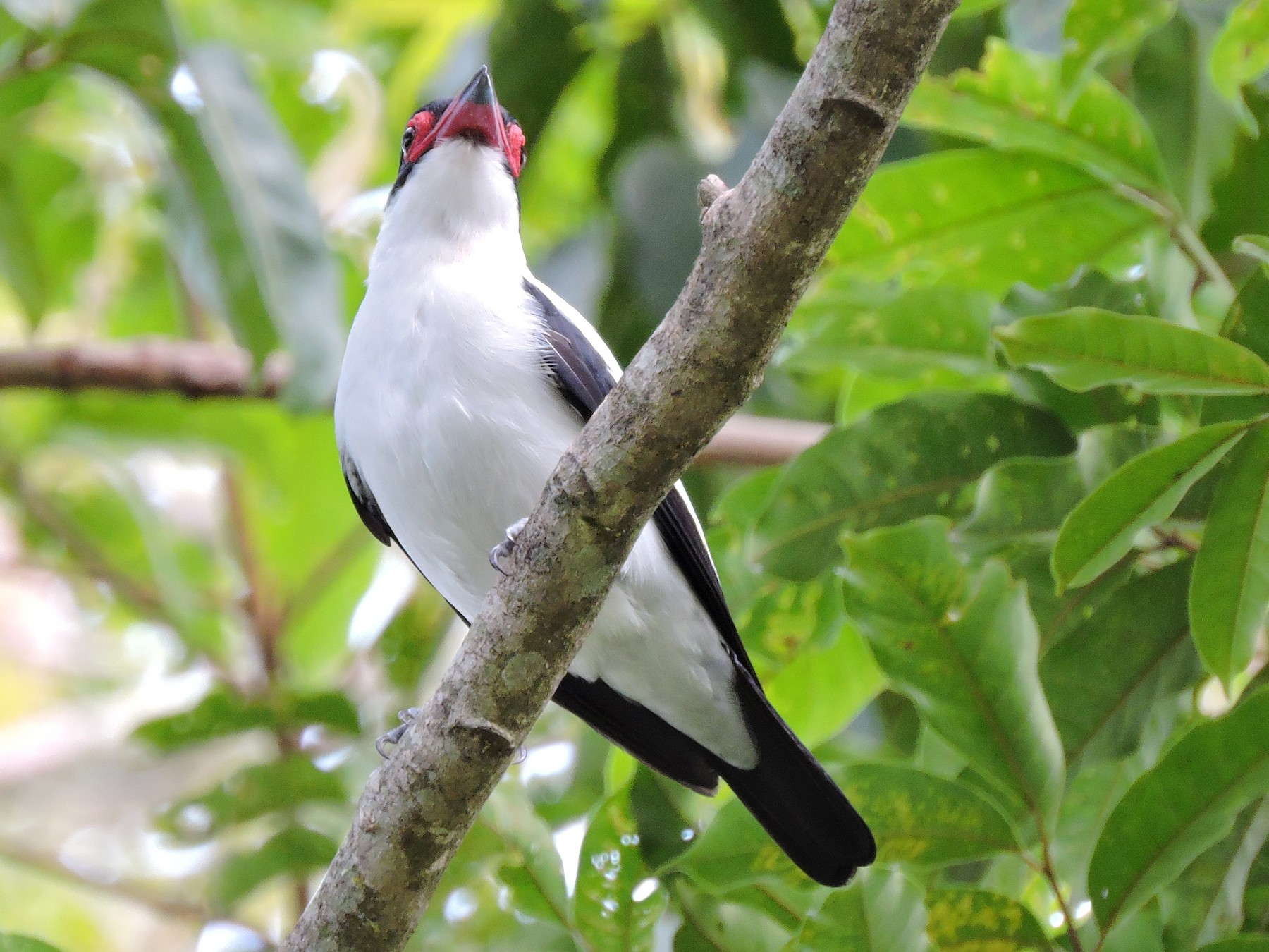Black-tailed Tityra - Edwin Munera