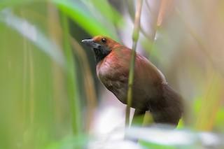 - Rondonia Bushbird