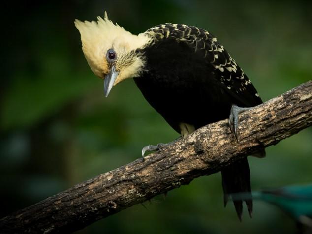 Blond-crested Woodpecker - Nereston Camargo