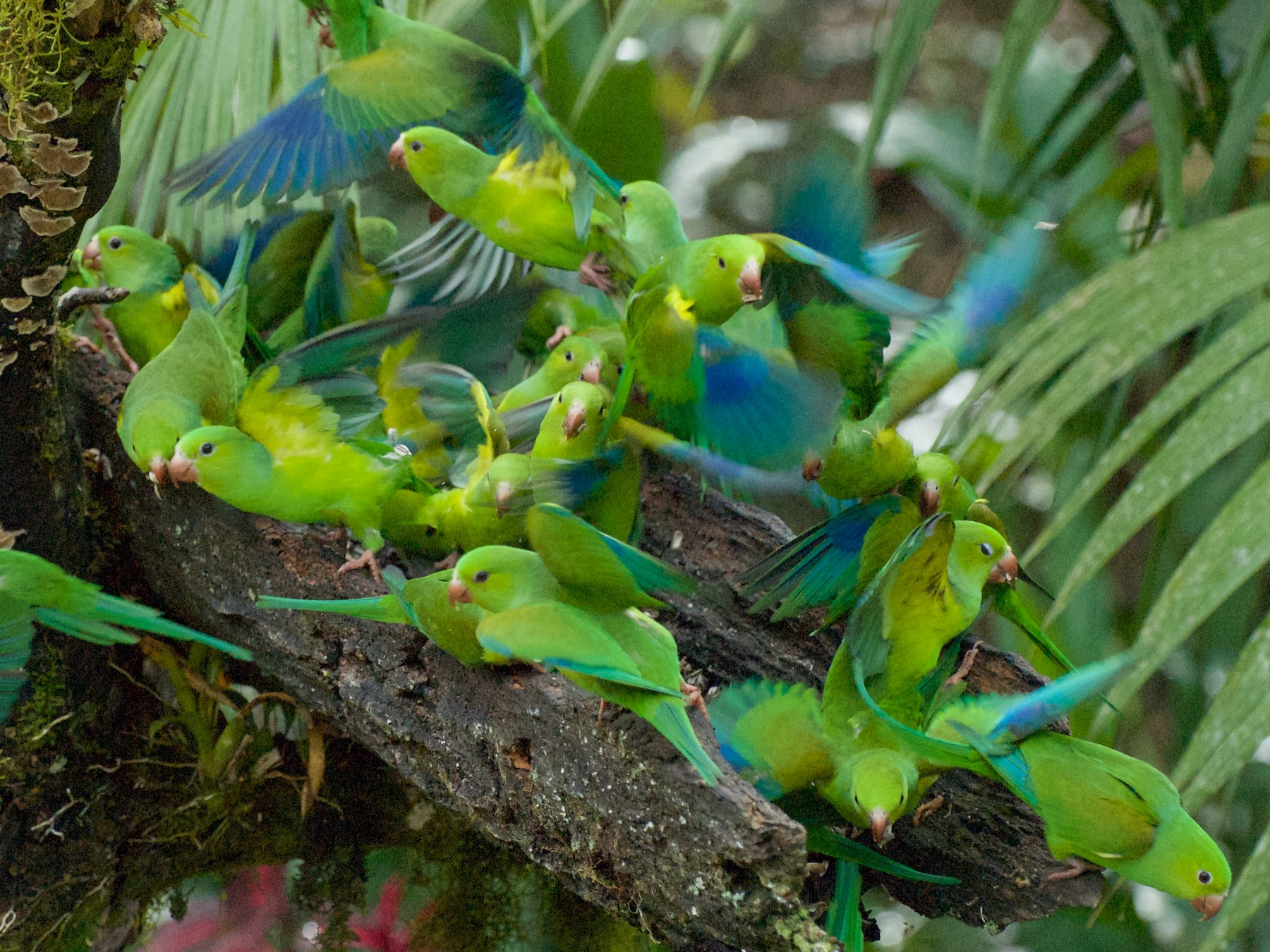 Plain Parakeet - Andreas Kostic