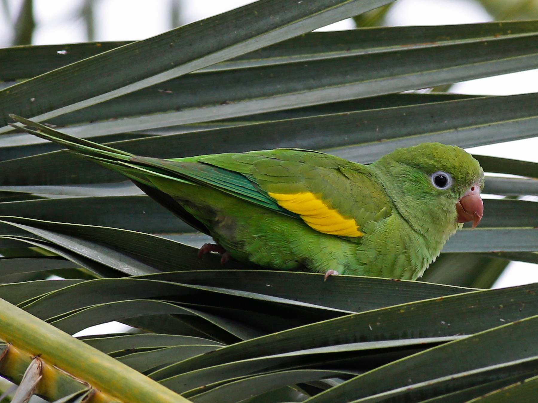 Yellow-chevroned Parakeet - William Keim