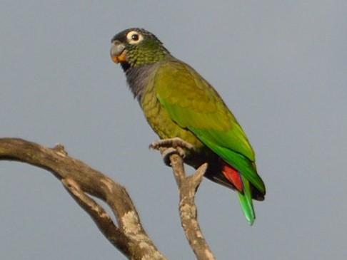 Scaly-headed Parrot - Luis Fernandez