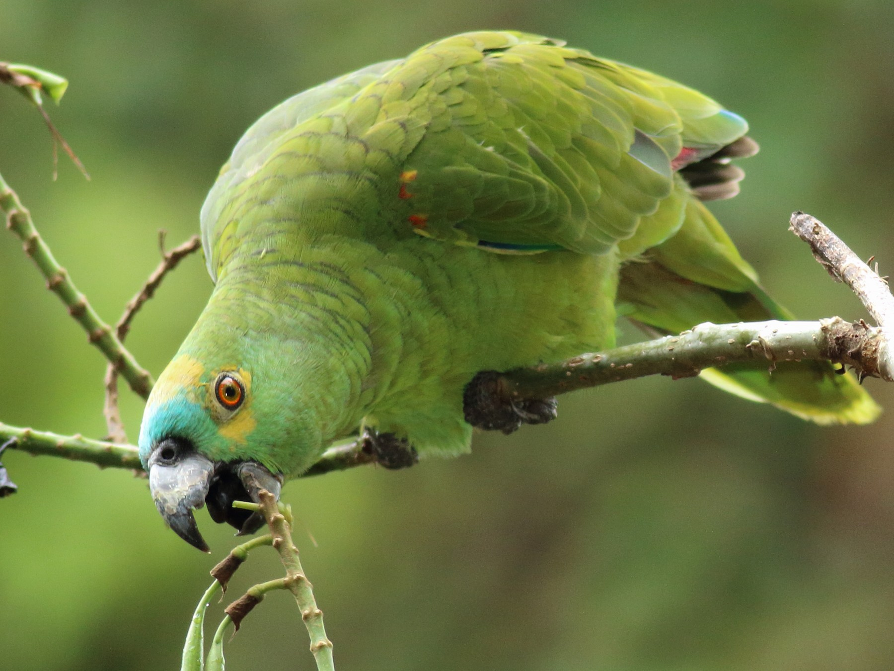 Turquoise-fronted Parrot - Rick Folkening