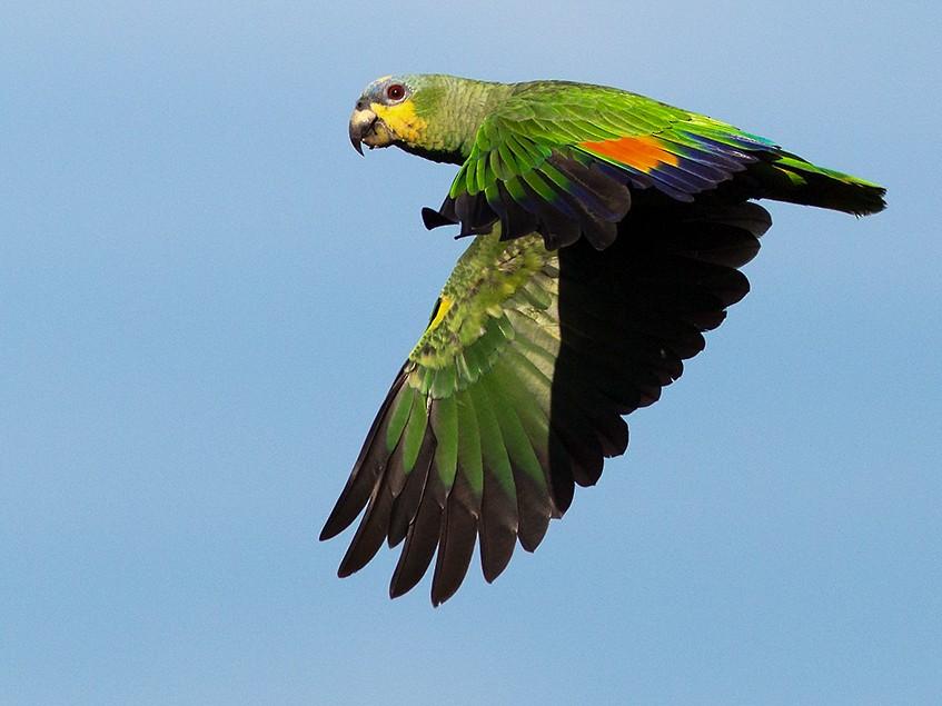 Orange-winged Parrot - Suzanne Labbé