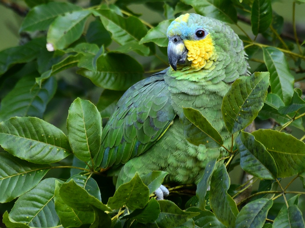 Orange-winged Parrot - Luiz Moschini