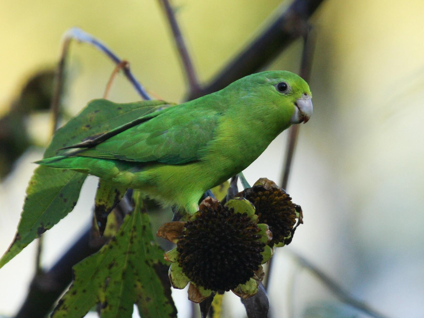 Blue-winged Parrotlet - Marshall Iliff