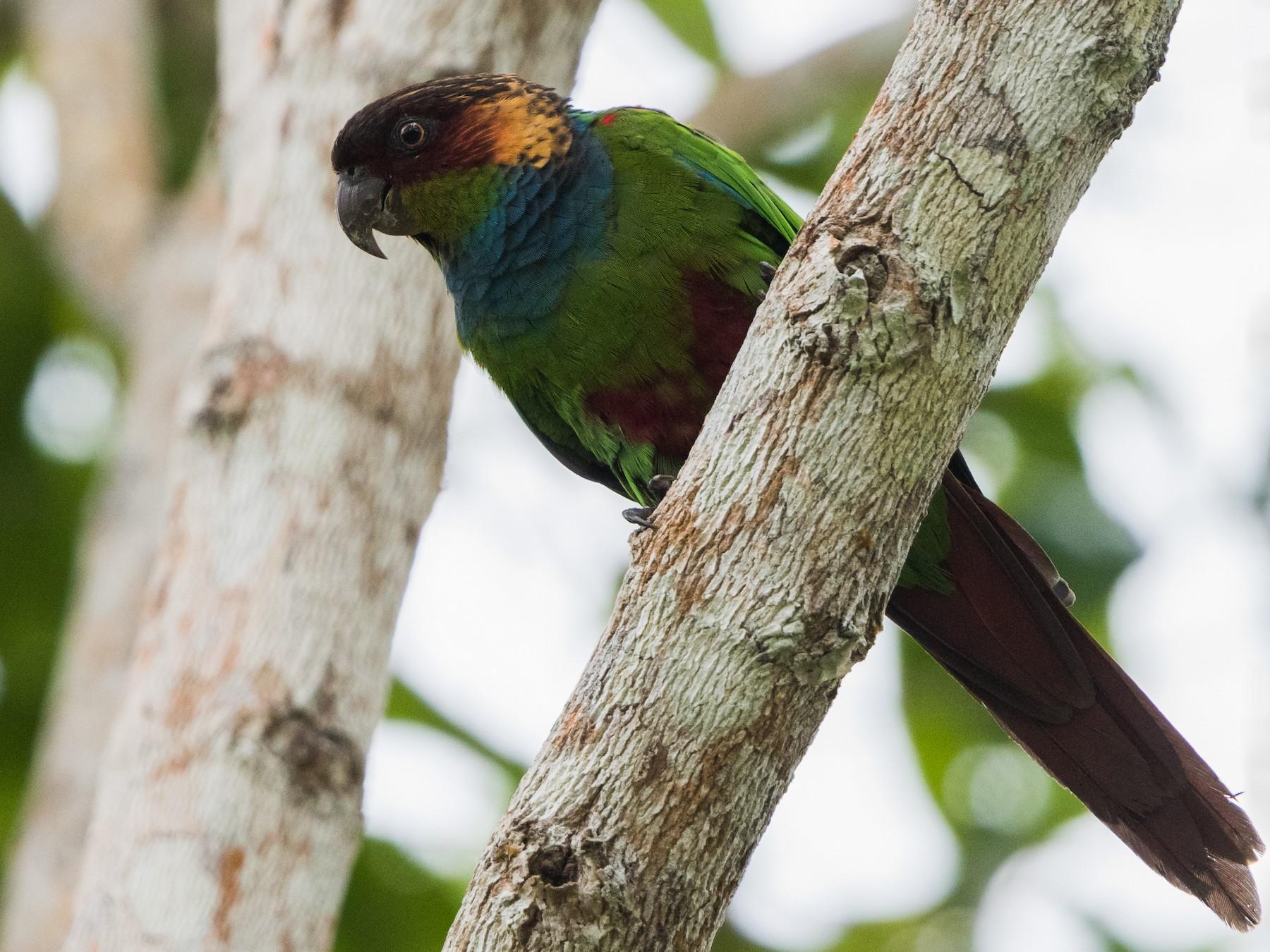 Ochre-marked Parakeet - Claudia Brasileiro