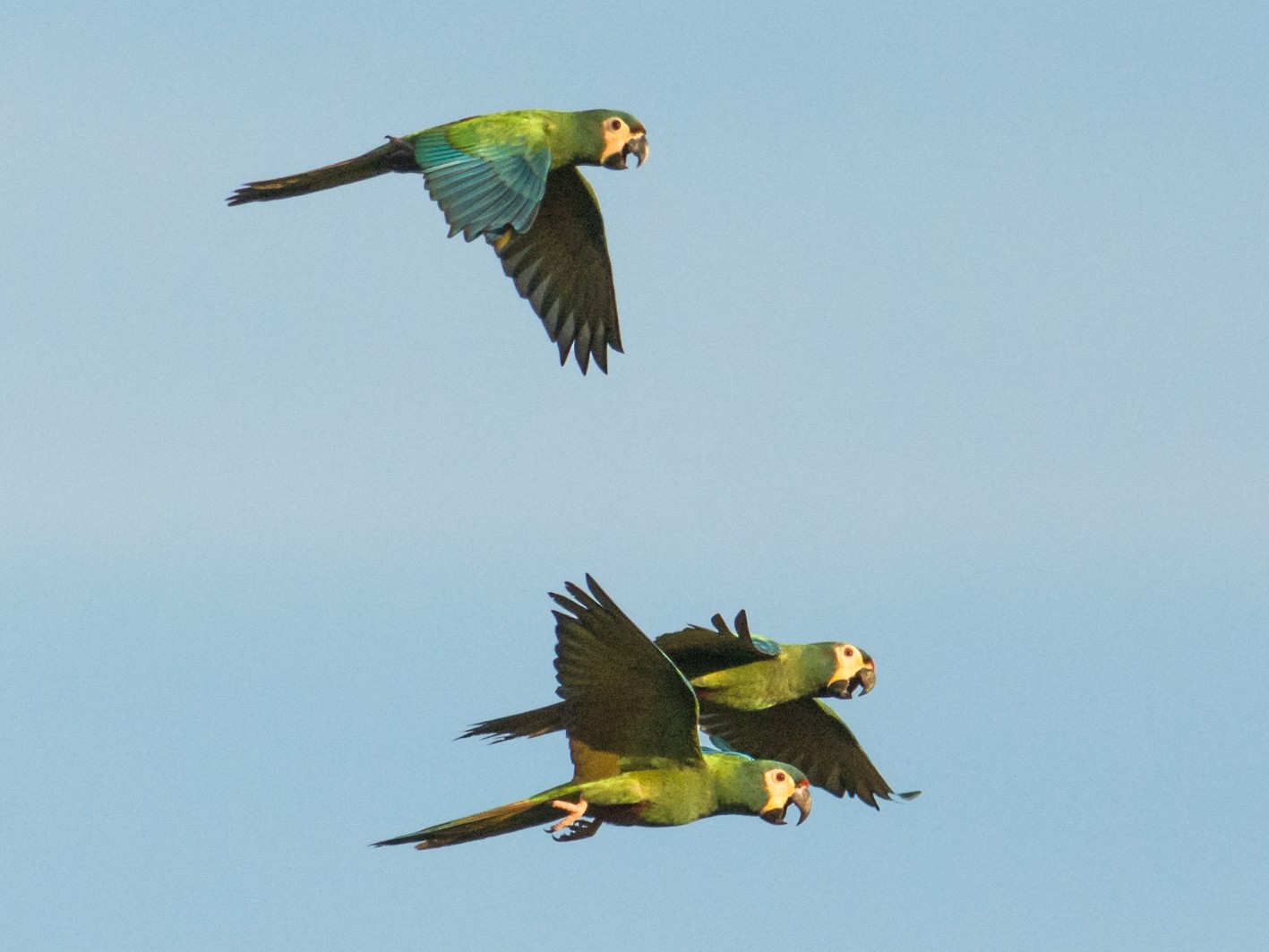 Blue-winged Macaw - Hudson - BirdsRio