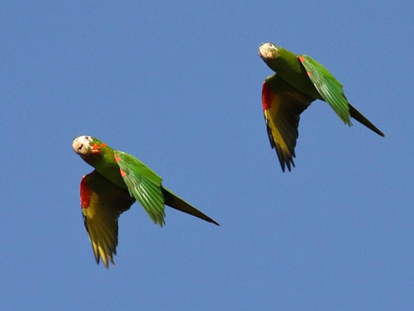 White-eyed Parakeet - Charley Hesse TROPICAL BIRDING