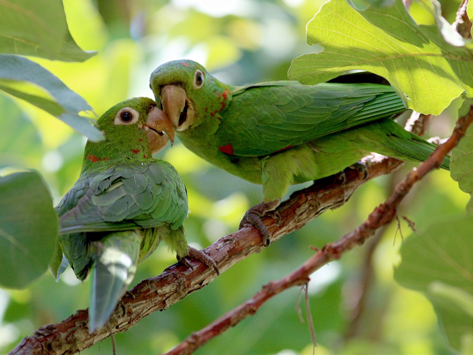 White-eyed Parakeet - Paulo Krieser