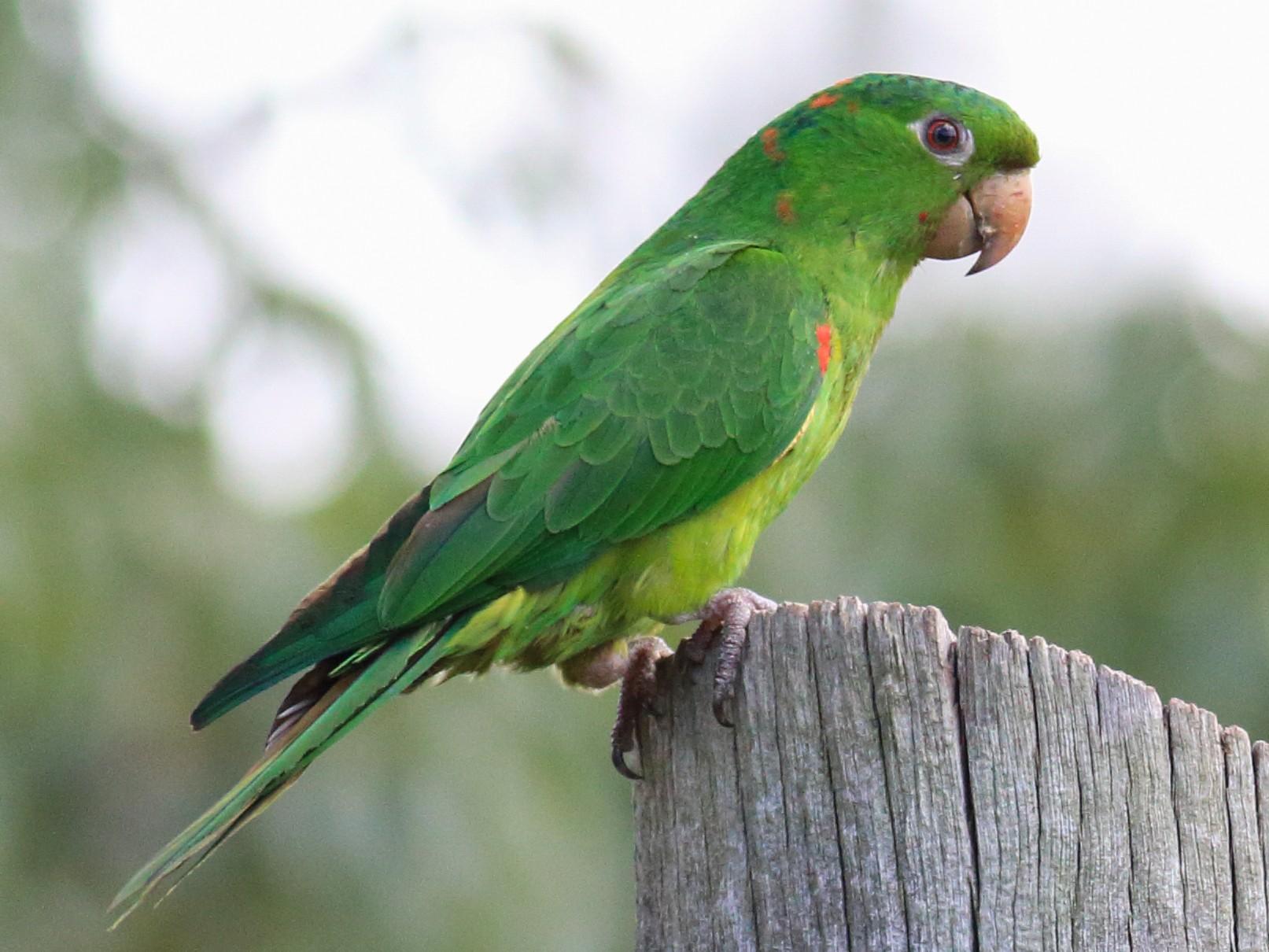 White-eyed Parakeet - Rick Folkening